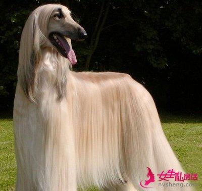 华贵的阿富汗犬的日常喂养与护理