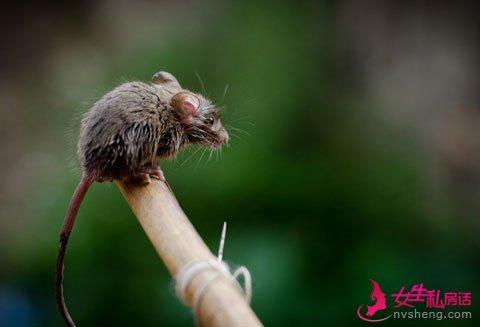 别小看老鼠!印度新生儿被医院老鼠咬死