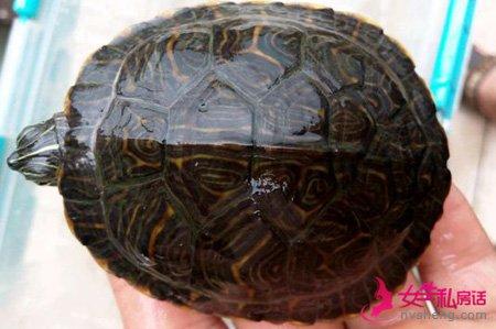 甜甜圈龟是如何交往繁殖的?好神奇