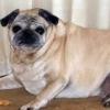 狗狗多重才算胖 狗狗发胖原因