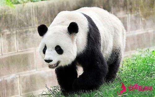 每家动物园引进大熊猫都要遵循国家制定的相关标准