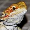 蜥蜴吃什么 宠物蜥蜴吃的食物介