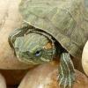 巴西龟吃什么 巴西龟怎么养