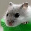 仓鼠吃什么 饲养仓鼠有哪些禁忌