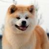 秋田犬与柴犬怎么分辨 秋田犬与