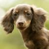 公狗发情会有怎样的表现 狗狗发