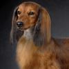 腊肠犬的饲养注意与喂养方式