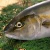 买鱼怎么挑?水产专家教你买好鱼