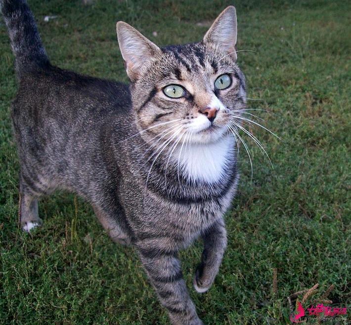 田园猫虽然在农村生活,但吃的一点也不比宠物猫差
