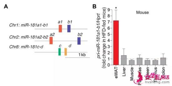 ▲miR-181家族有3个基因簇,包括6个成熟miRNA。高脂肪饮食条件下,它们在白色脂肪组织中表达增加,在其他组织中则没有变化(图片来源:参考资料[1])