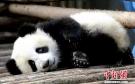 成都大熊猫基地国庆节期间将限流 实行网络提前购票